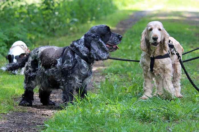 Cocker Spaniel Hunde Tierschutz Tierkommunikation Tierheim
