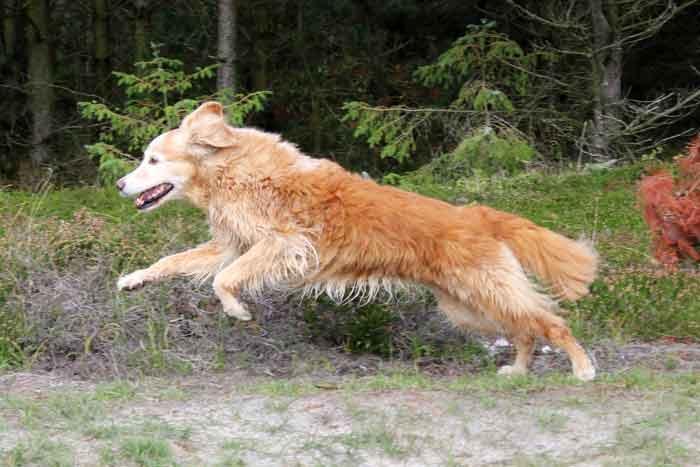 Golden Retriever Hund Chronische Niereninsuffizienz Naturheilkunde