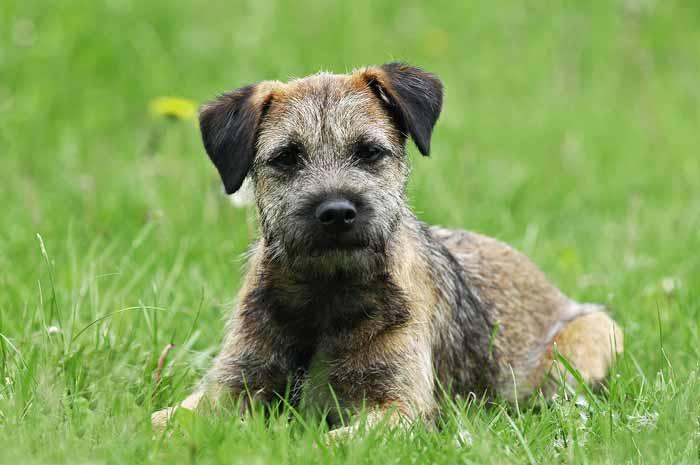 Hund Border Terrier Beratung TierEmotion Ganzheitliche Tiergesundheit