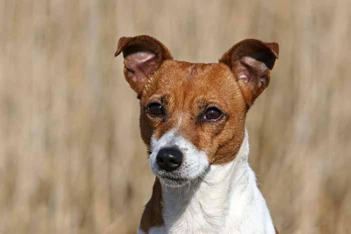 Hund Terrier Energetik TierEmotion Ganzheitliche Tiergesundheit Emotionscode Energiearbeit bei Tieren Tiere energetisch heilen Healy