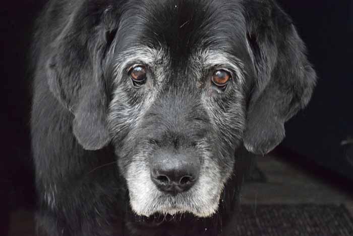Alter schwarzer Hund mit grauer Schnauze und hängenden Augenlidern Tiersenioren Senior Seniorhund alter Hund weiß grau trübe Augen