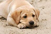 Labrador Welpe Energetik Energiearbeit bei Tieren Tiere energetisch heilen Emotionscode ganzheitliche Tiergesundheit Healy