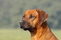 Rhodesian Ridgeback Horizontal-Therapie Tiergesundheit Elektromedizin