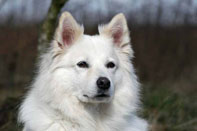Samojede Beratung Naturheilkunde ganzheitliche Tiergesundheit Darmsanierung Entgiftung Tumorerkrankungen Krebs Hund Mastzelltumor
