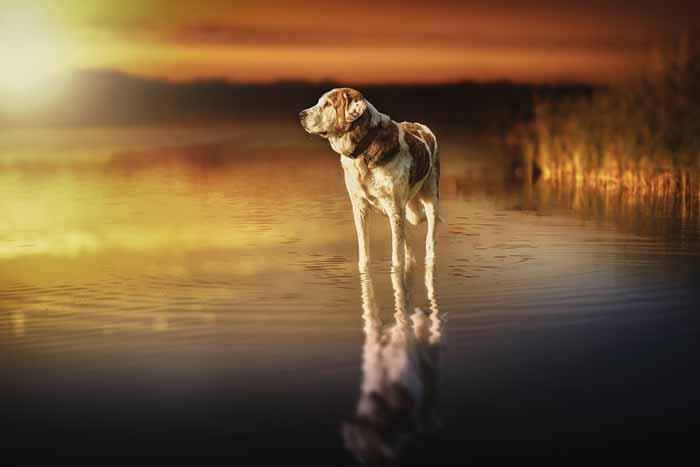 Hund steht im Wasser und schaut in den Sonnenuntergang Sterbebegleitung einfühlsame Begleitung Energiearbeit Sterben Hund Tod tot leiden Angst Tierkommunikation
